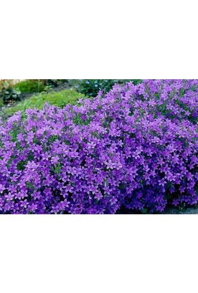 Tohumcumm 10 Adet Tohum Çan Kadehi Çiçeği Tohumu Çiçek Tohumu + Saksı + Toprak