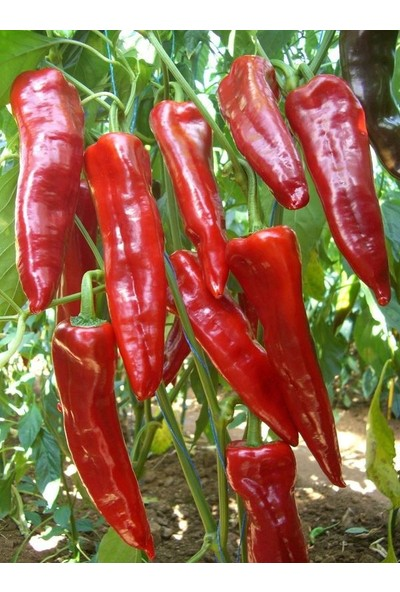 Çam Tohum Acı Kırmızı Kapya Biberi Tohumu Kapya Biber Tohumu 10 Tohum