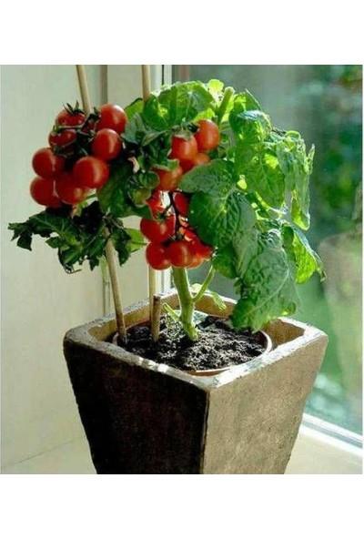 Çam Tohum Nadir Cherry Domatesi Tohumu Ekim Seti Saksılık Domates Tohumu 10 Tohum Saksı Toprak Kombin