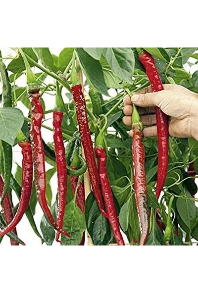 Çam Tohum Nadir Uzun Kırmızı Acı Biber Tohumu Ekim Seti 10 Tohum Saksı Toprak Kombin