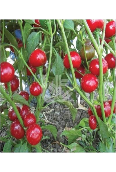 Çam Tohum Nadir Acı Kiraz Biberi Tohumu Ekim Seti 10 Tohum Top Süs Biber Tohumu Saksı Toprak Kombin