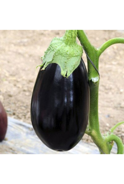 Çam Tohum Nadir Ithal Dev Patlıcan Tohumu Ekim Seti 10 Tohum Saksı Toprak Kombin