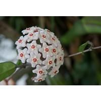 Türkiye Fidan Mum Çiçeği / Beyaz