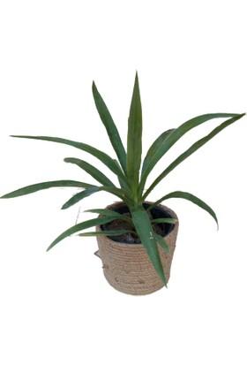 Lulubel Yucca (Yuka) Massengena
