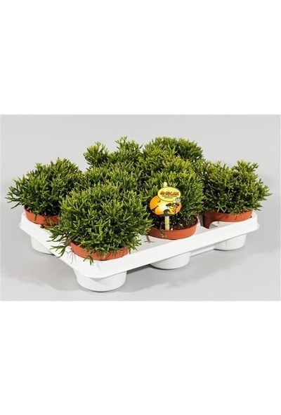 Greenmall Spagetti Kaktüs -3