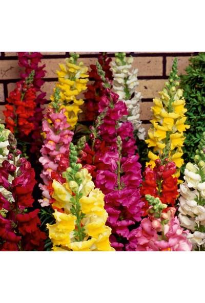 Arzuman Aslanağzı (Antirrhinum Majus) Çiçek Tohumu 100 Adet