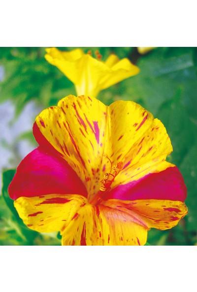 Arzuman Akşam Sefası (Mirabilis Jalapa) Çiçek Tohumu 25 Adet
