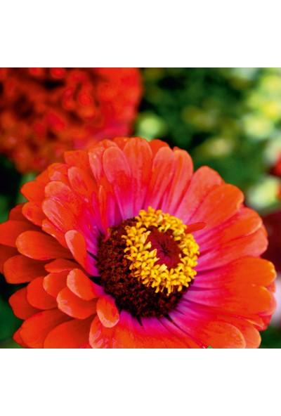 Arzuman Beybeğendi (Zinnia) Çiçek Tohumu 30 Adet