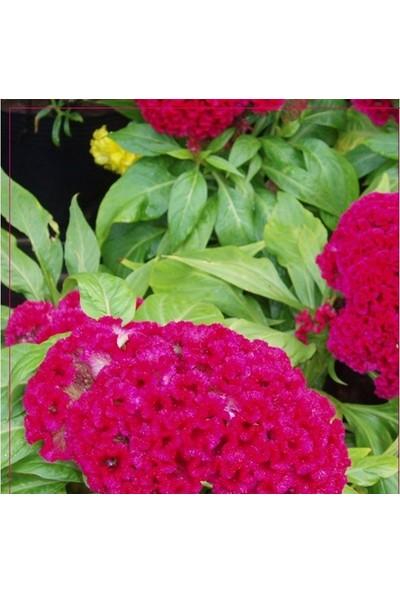 Arzuman Horozibiği (Celosia) Çiçek Tohumu 100 Adet