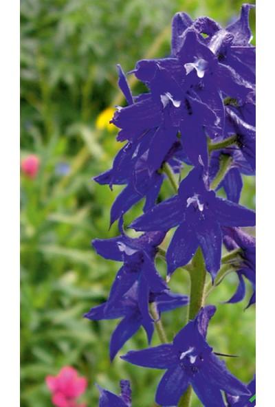 Arzuman Hazeran (Delphinium L.) Çiçek Tohumu 30 Adet