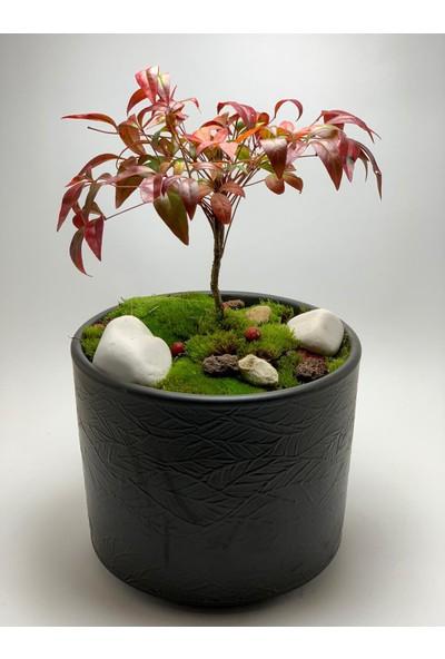 Cennet Bambusu Fidan ve Dekoratif Saksı
