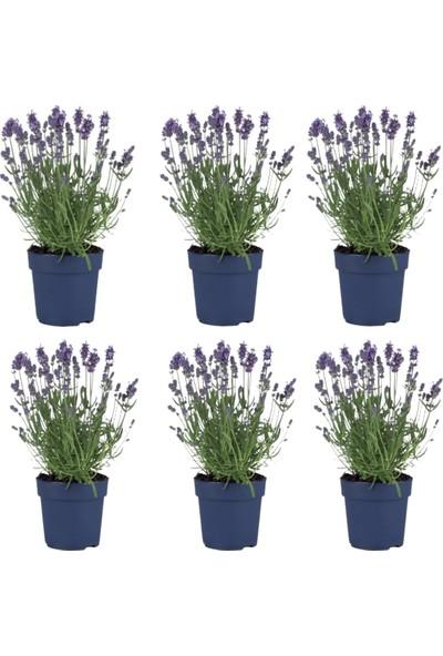 Lavanta Çiçeği 6'lı Set (Lavandula Officinalis)