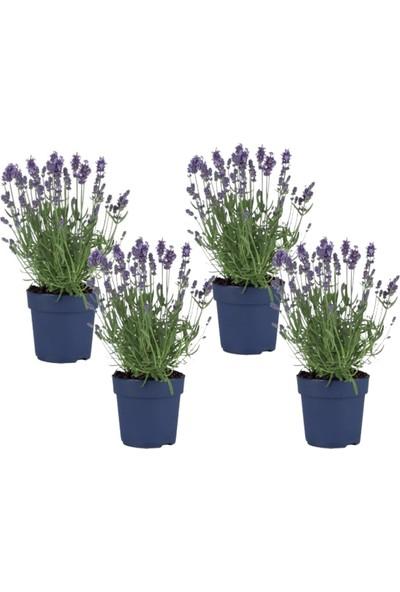 Lavanta Çiçeği 4'lü Set (Lavandula Officinalis)
