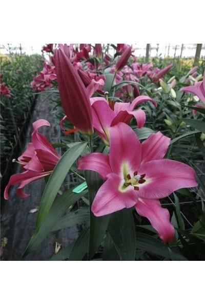 Asya Karışık Renkli Kokulu Zambak Soğanı 10 Adet (Sarı- Pembe- Koyu Pembe -Turuncu)