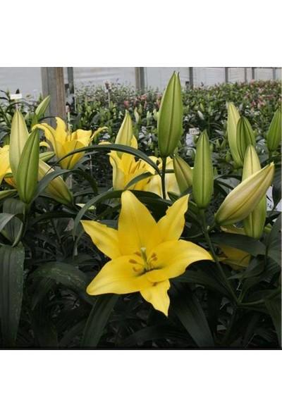 Asya Karışık Renkli Kokulu Zambak Soğanı 20 Adet (Sarı- Pembe- Koyu Pembe -Turuncu)