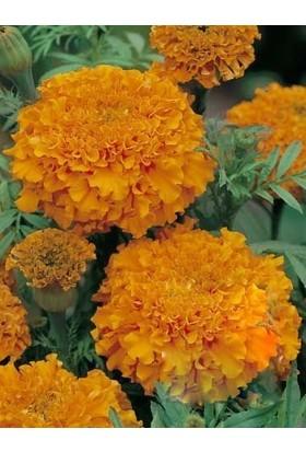 Agrobazaar Top Kadife Çiçek Tohumu Turuncu Renk