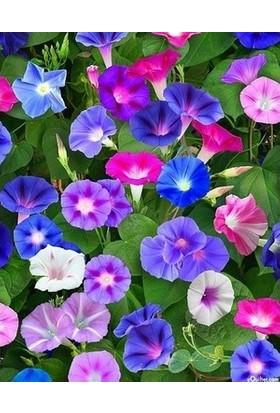 Agrobazaar Sarmaşık Çiçeği Tohumu