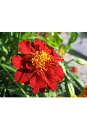 Agrobazaar Karagöz Kadife Çiçeği Tohumu
