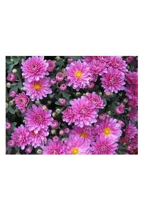 Agrobazaar Aster Çiçeği Tohumu