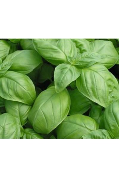 Fenton Yeşil Reyhan Tohumu Yeşil Fesleğen 1 Paket (3GR=100+ Adet) Fesleğen Tohumu