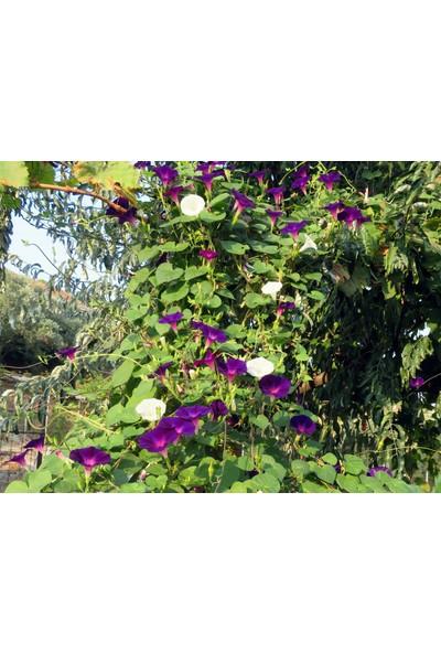 Sarmaşık Çiçeği Tohumu 10 Adet Tohum