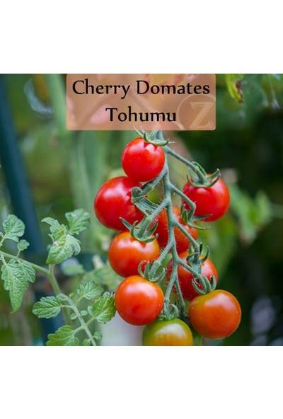 Fenton Çeri Domates Tohumu 1 Paket (1GR=250+ Adet) Cherry Domates Salkım Domates Tohumu