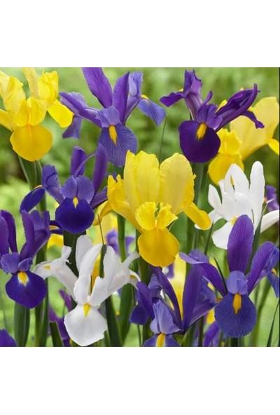 Asya Karışık Renkli Iris Mix (Süsen) Soğanı 10 Adet