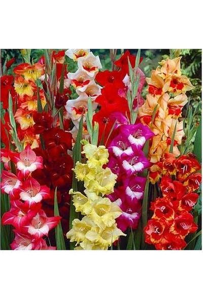 Asya Karışık Renkli Glayör (Kılıç Çiçeği) Soğanı 20 Adet (Boy 80-120CM)