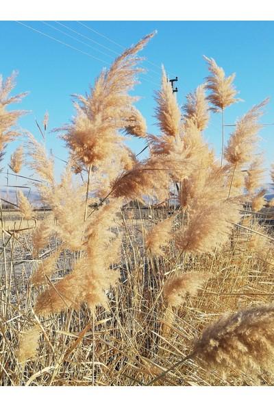 Emek Hasır Naturel Pampas 30 Adet 100 cm Kuru Çiçek Doğal Pampas Otu Saz Püskülü Dekoratif