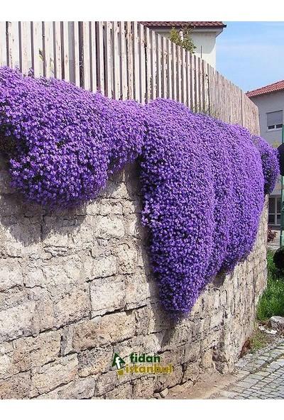 Agrobazaar Obrizya Çiçeği Tohumu