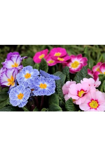 Agrobazaar Mart Çiçeği Tohumu