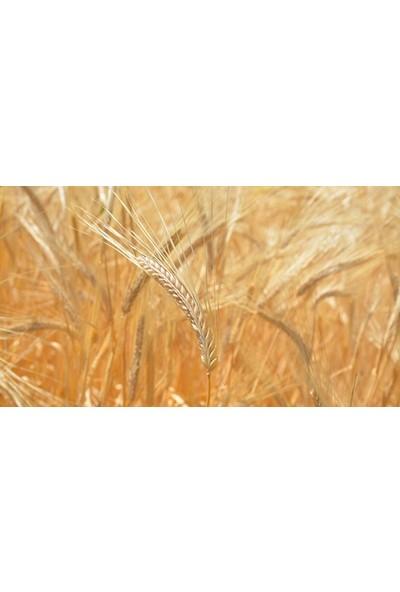 Agrobazaar Arpa Tohumu 1 kg Doğal Arpa Tohumu Arpa Tohumları