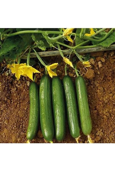 Agrobazaar Çok Erkenci 60 Günlük Nadir Salatalık Tohumu