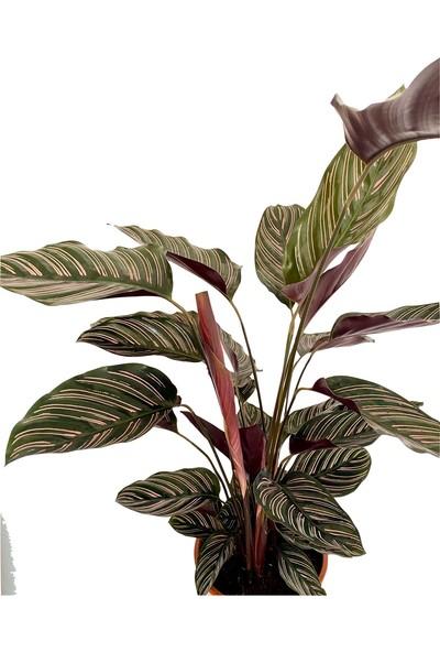 Nadir Kaktüs Calathea Ornata Sanderiana Dua Çiçeği 90-100 cm