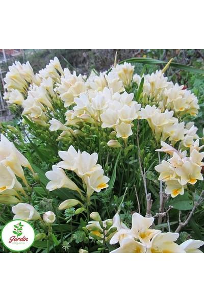 Asya Sümbülteber Soğanı 3 Adet Doğal Ev Bahçe Için Ideal Polianthes Tuberose
