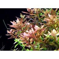 Tohum Diyarı Rotala Rotundifolia 1 Bağ