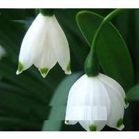 Tohum Diyarı Beyaz Ucu Yeşil Çan Orkide Çiçek Tohumu 5+ Tohum