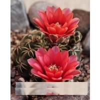 Tohum Diyarı Kırmızı Çiçekli Kaktüs Tohumu 10+ Tohum