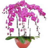 Tohum Diyarı Pembe Orkide Çiçeği Tohumu 5 Tohum