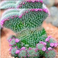 Tohum Diyarı Peri Succulents Pembe Çiçekli Kaktüs Tohumu 10 Tohum