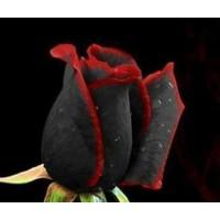 Tohum Diyarı Siyah Gül Kırmızı Kenarlı Gül 10 Tohum