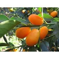 Ceran Tarım Yediveren Kamkat Fidanı Üzeri Meyveli