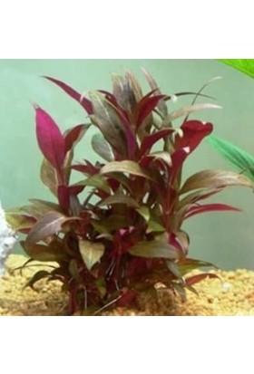Tohum Diyarı Alternanthera Reinecki 1 Bağ - Canlı Bitki