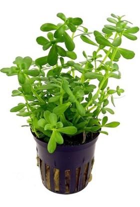 Tohum Diyarı Bacopa Monnieri 1 Kök Bitki - Canlı Bitki