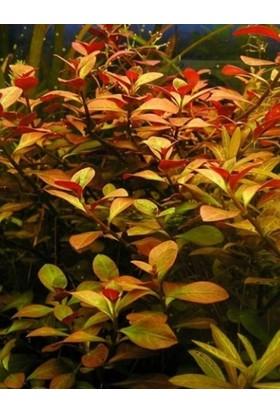 Tohum Diyarı Ludwigia Repens (Gül) 1 Bağ Bitki - Canlı Bitki