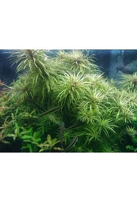 Tohum Diyarı Pogostemon Stellata 1 Bağ Bitki - Canlı Bitki