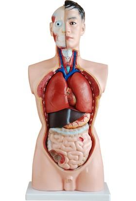 Anatomia Erkek Torso Modeli 85 Cm 19 Parça