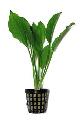 Akvaryumbitkileri Echinodorus Bleheri (Yeşil Uzun Amazon) 1 Kök Akvaryum Bitkisi