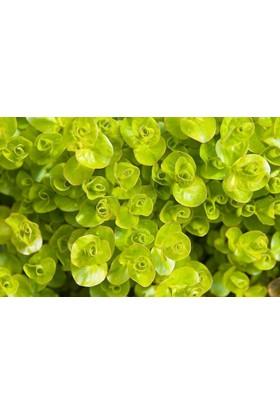Lysimachia Nummularia Greenlysimachia Nummularia Green (Kokulu) 1 Bağ Akvaryum Bitkisi 5 Kök