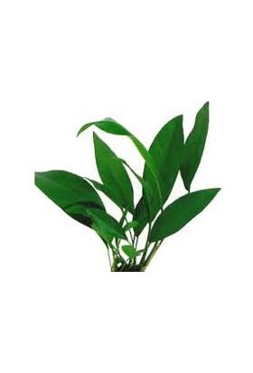 Anubias Congensisanubias Congensis Akvaryum Bitkisi 3-4 Yapraklı